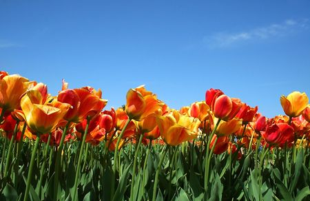 Yellow And Red Tulips photo