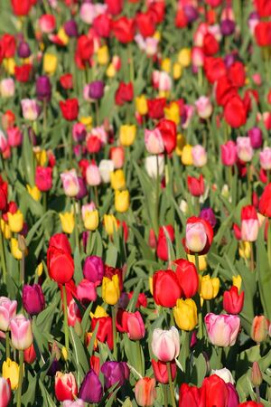 Tulip Flower Background photo