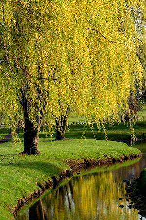 sauce: Michigan parque durante la primavera