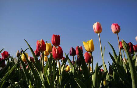 Multi gekleurde tulp bloemen