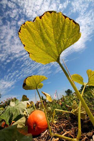 Tall Pumpkin Leaf photo