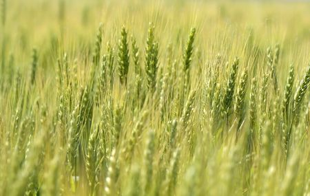 Wheat Farm Stock Photo - 3867670