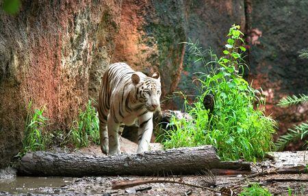 Bengal Tiger Stock Photo - 4089831
