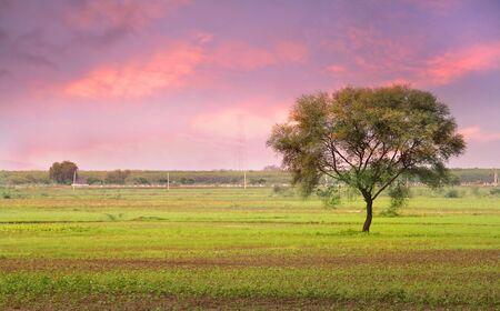 Single Tree In The Fields Of India Archivio Fotografico