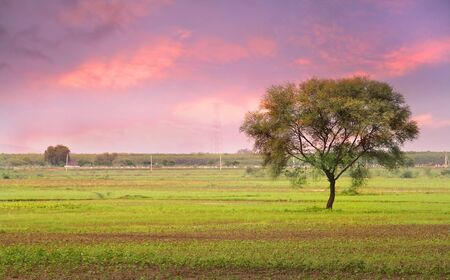 Single Tree In The Fields Of India 版權商用圖片