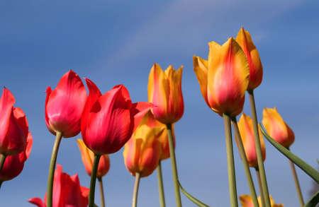 Tulip Flowers photo