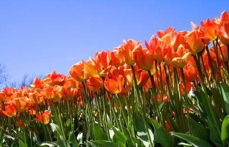 slantwise: Tulip Fiori Archivio Fotografico