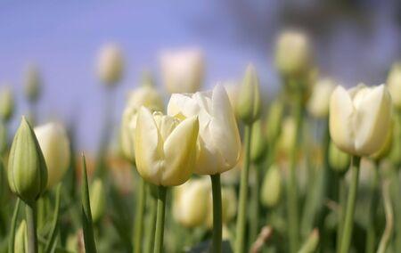 slantwise: White Tulip Flowers
