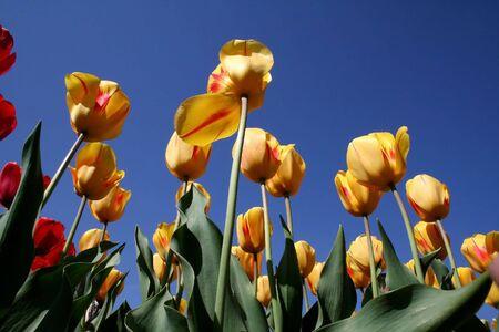 slantwise: Yellow Tulips Stock Photo