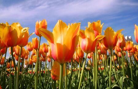 slantwise: Tulips Stock Photo