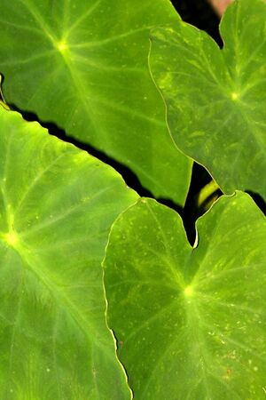Large Green leaves photo