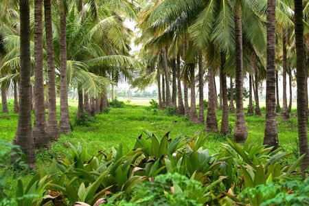 Coconut boerderij Stockfoto - 5543158