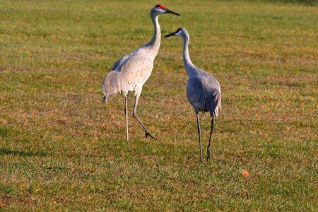 Two sandhill cranes photo
