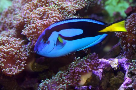 wedgetailed: Blue Tang fish