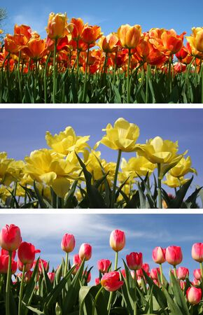 Tulip collage Stock Photo - 6222787