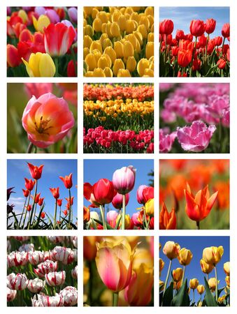 Tulip collage photo