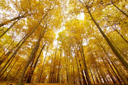 maple trees: Tall yellow maple trees