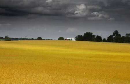 wheatfield: Wheat farm