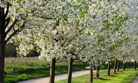 Beautiful blooming trees in the spring time Stock Photo - 6733949