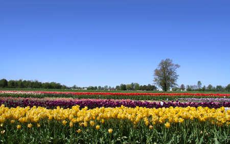dutch: Dutch tulip garden
