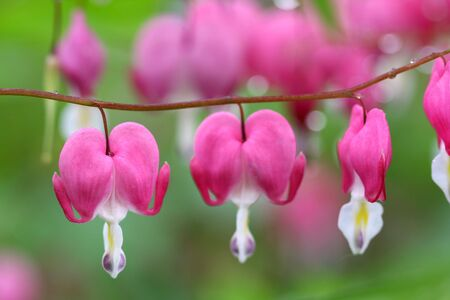 royalty free: Bleeding Hearts
