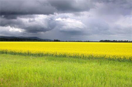 Rapeseed fields photo