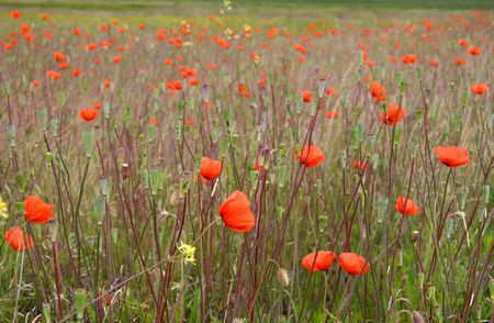 Red Poppy flowers in the prairie fields