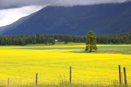Kool zaad velden Stockfoto - 7652860
