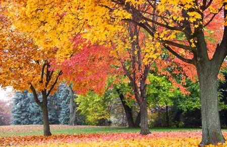 fallcolours: Bright colored trees in the late autumn time