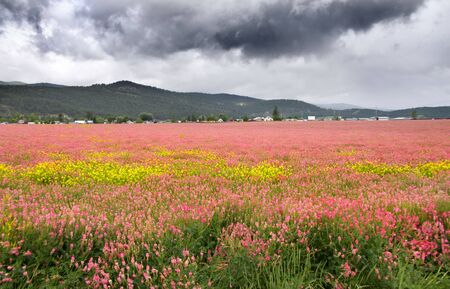 Field of pink flowers in Montana on a dark cloudy day photo