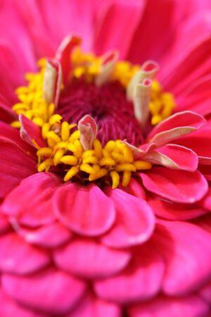 close up shot of Zinnia flower Stock Photo - 7862607