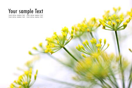 alchemilla: Fiore giallo su sfondo bianco