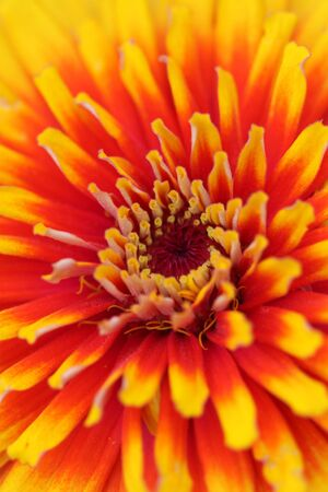 Zinnia flower background Stock Photo - 7981372