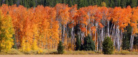 autumn colour: autumn trees in Yellowstone national park Stock Photo