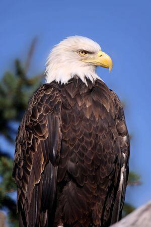 나뭇 가지에 대머리 독수리의 총을 닫습니다