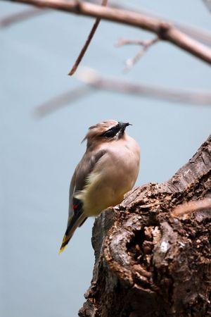 pigmy: African Pigmy Falcon bird on the tree