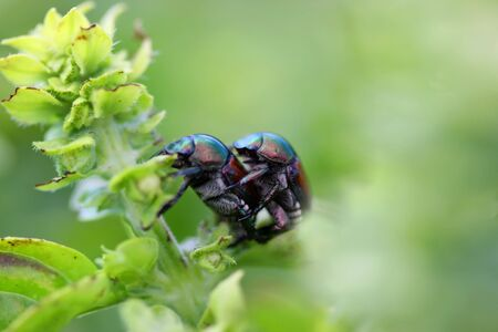 copulate: Two bumble bee bugs mating on a plant Stock Photo
