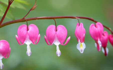 Close up shot of  bleeding heart flowers on a branch photo