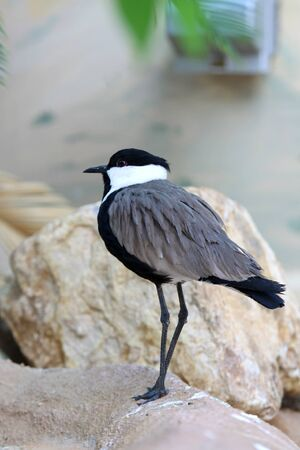 plover: Close up shot of Egyptian Plover bird
