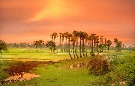 Sun set sky over paddy fields in India