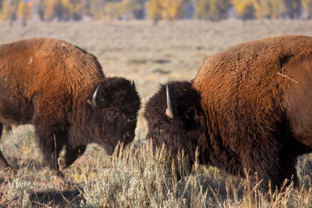 Wild bisons ready to fight each other photo