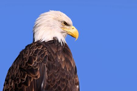 Famous American bald eagle against blue sky photo