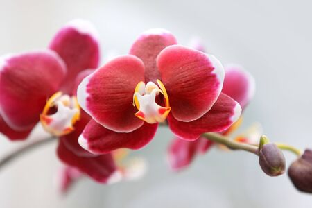 Fresh red orchid flowers on a branch Stock Photo
