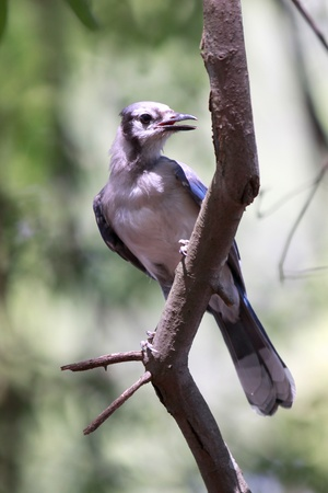 jay: Close up shot of Blue jay bird on tree Stock Photo