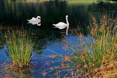 wildfowl: Two beautiful swans in the pond  Stock Photo