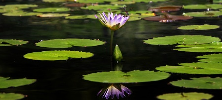 water lily: Panoramic view of water lily plant in the pond Stock Photo