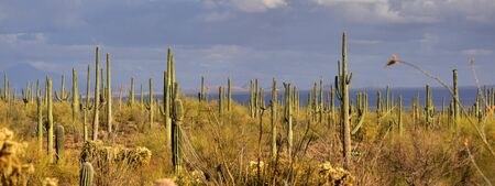 arizona scenery: Saguaro national park on a summer day Stock Photo