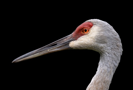 Sandhill crane isolated on black background photo