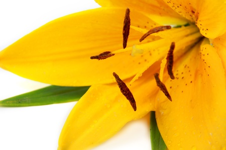 Yellow tiger lily Stock Photo - 10539787