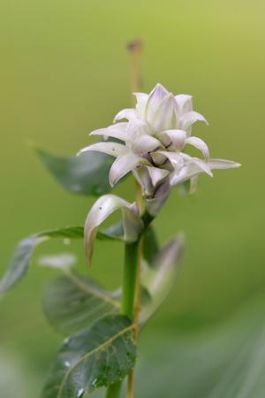 alpinia: Close up shot of single Alpinia Purpurata flower